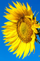 Flower of sunflower against a blue sky. - PhotoDune Item for Sale