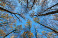 Tops trees in the autumn forest on a background of blue sky. - PhotoDune Item for Sale