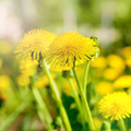 Dandelions on a background of flowers and green grass. - PhotoDune Item for Sale