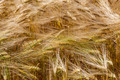 Wheat ears in the field as background. - PhotoDune Item for Sale