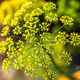 Dill inflorescence on a green background. - PhotoDune Item for Sale