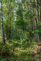 Birch trees in a fresh green forest. - PhotoDune Item for Sale