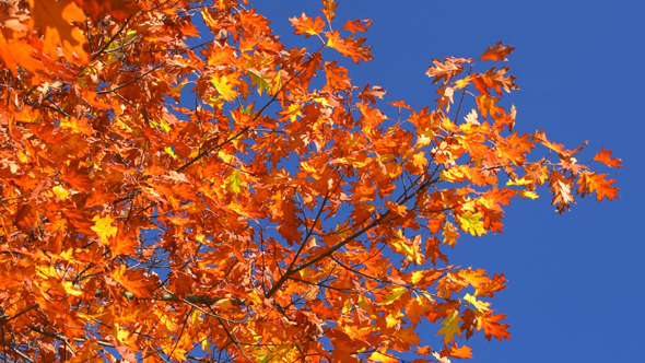 Autumn Foliage and Blue Sky