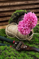 blossoming spring flower hyacinth and garden scissors - PhotoDune Item for Sale