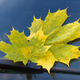 autumn leaf on a car windshield - PhotoDune Item for Sale