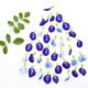 Group of butterfly pea flower and leaf on white background - PhotoDune Item for Sale
