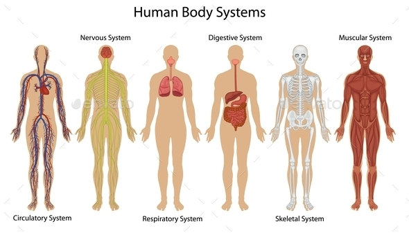 GraphicRiver Human Body Systems 9614499