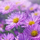Asters - PhotoDune Item for Sale