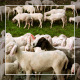 Herd of Goats on Pasture 4 - VideoHive Item for Sale