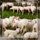 Herd of Goats on Pasture 5 - VideoHive Item for Sale