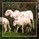 Herd of Goats on Pasture 9 - VideoHive Item for Sale