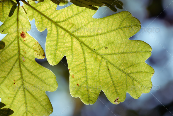 Oak leaf - Stock Photo - Images
