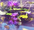 Lotus - PhotoDune Item for Sale