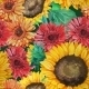 Seamless Pattern of Sunflowers with Gerbera Flower - GraphicRiver Item for Sale