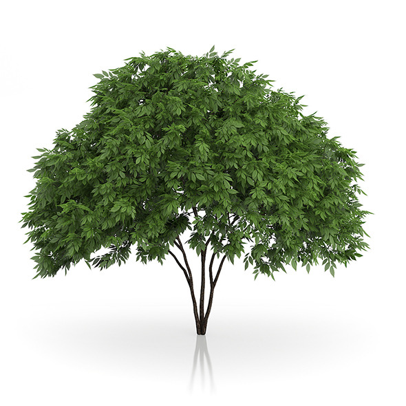 Elderberry Tree (Sambucus nigra) 2.5m - 3DOcean Item for Sale