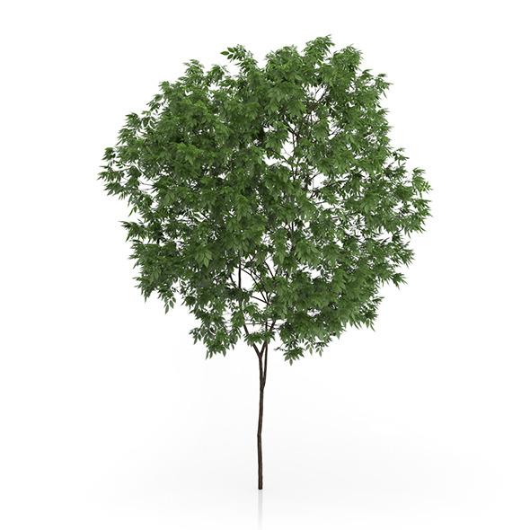 3DOcean Elderberry Tree Sambucus nigra 3.3m 9633579