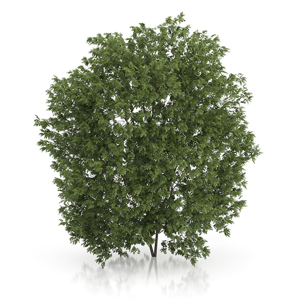3DOcean Hackberry Tree Prunus padus 4.3m 9633603