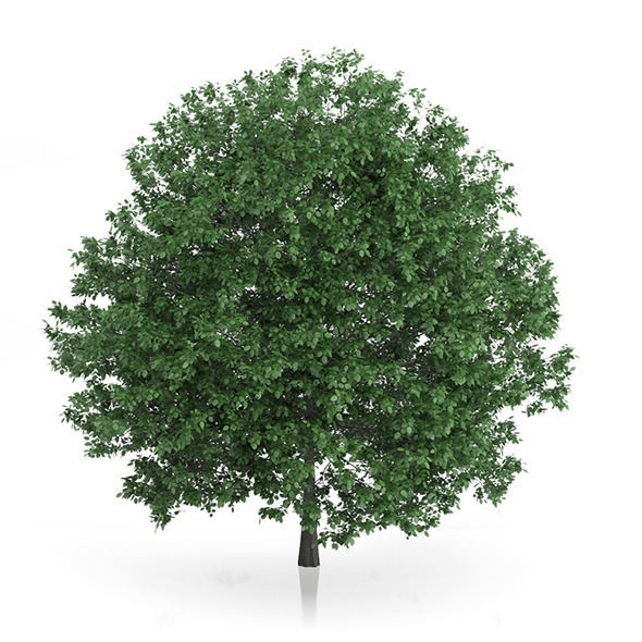 Common Hornbeam Tree (Carpinus betulus) 10.7m - 3DOcean Item for Sale