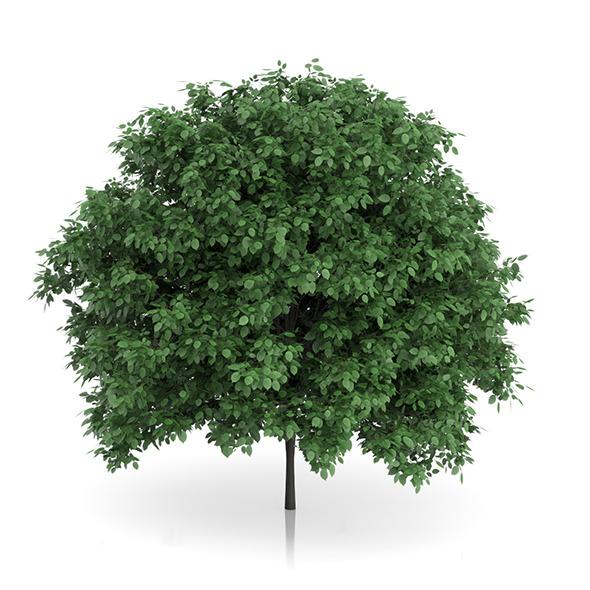 3DOcean Common Hornbeam Tree Carpinus betulus 4.6m 9634818