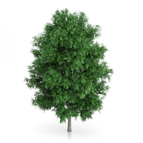 Rowan Tree Sorbus aucuparia 7.9m