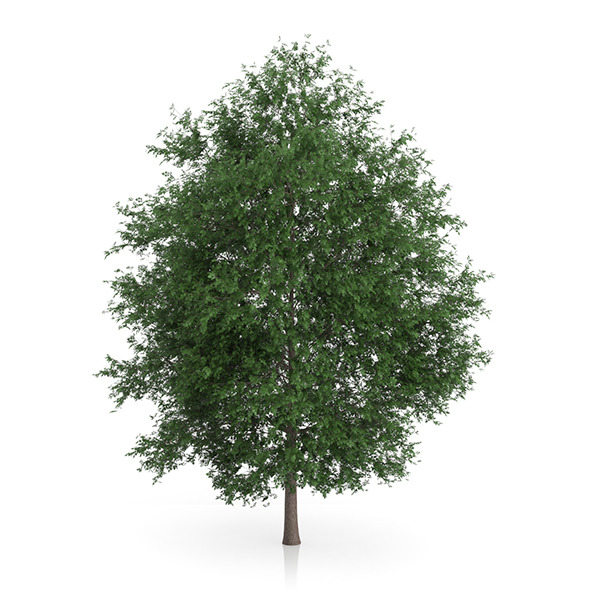 Large-leaved Lime Tree (Tilia platyphyllos) 5.6m - 3DOcean Item for Sale