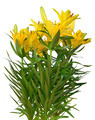 Yellow lily flowers - PhotoDune Item for Sale