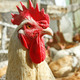Adult rooster on the poultry yard - PhotoDune Item for Sale