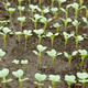 Cabbage young plants - PhotoDune Item for Sale