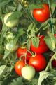 Bunch of red tomatoes in greenhouse - PhotoDune Item for Sale