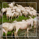 Herd of Goats on Pasture 6 - VideoHive Item for Sale