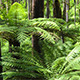Tree Ferns Forest - VideoHive Item for Sale