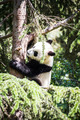 Beautiful breeding panda bear playing in a tree - PhotoDune Item for Sale