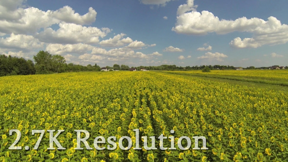 VideoHive Flying over Sunflower Field 9644583