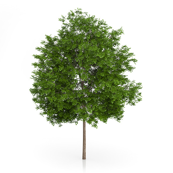 Maidenhair Tree (Ginkgo biloba) 6.3m - 3DOcean Item for Sale