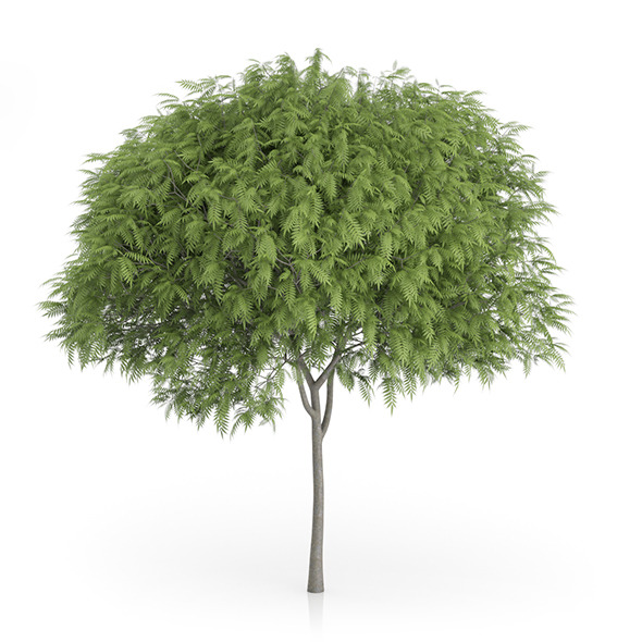 Staghorn Sumac Tree (Rhus typhina) 6.9m - 3DOcean Item for Sale