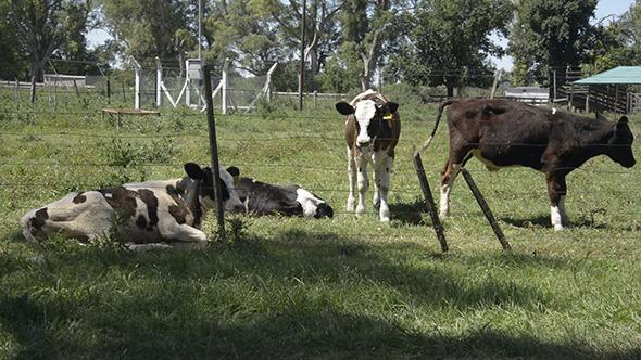 VideoHive Calves 02 9648113
