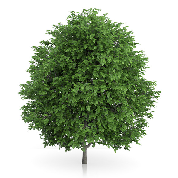 3DOcean Cigar Tree Catalpa bignonioides 5m 9648132