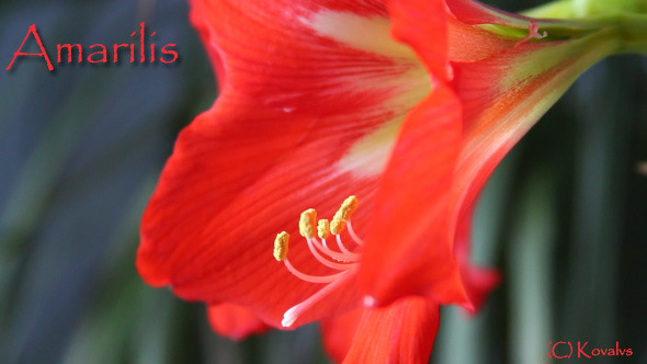 VideoHive Amaryllis Flower 2 9653349