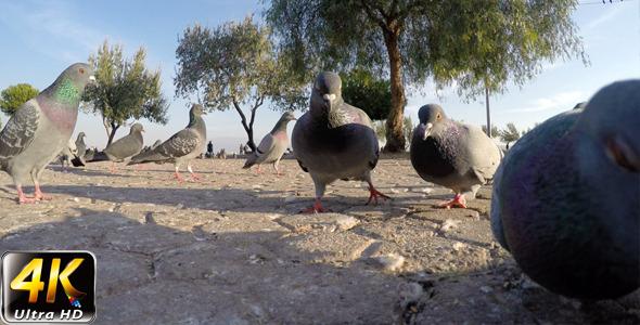 VideoHive Pigeon 4 9653753