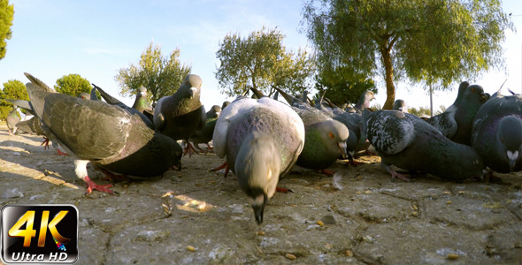 Pigeon 6