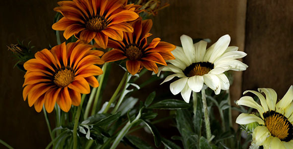 VideoHive Gazania Closing In The Evening 9662090
