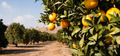 Raw Food Fruit Oranges Ripening Agriculture Farm Orange Grove - PhotoDune Item for Sale
