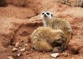 Couple in love meerkats - PhotoDune Item for Sale