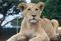 South Africa little lion cub - PhotoDune Item for Sale