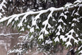 Fir branch covered with snow - PhotoDune Item for Sale