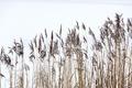 Frozen coastal reed - PhotoDune Item for Sale