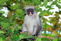 Zanzibar red colobus monkey - PhotoDune Item for Sale