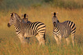 Plains Zebras - PhotoDune Item for Sale