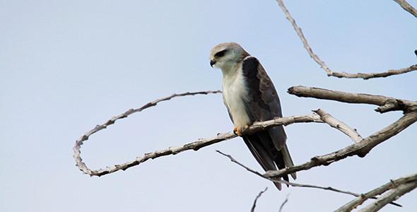 VideoHive Juvenile Eagle 02 9673889