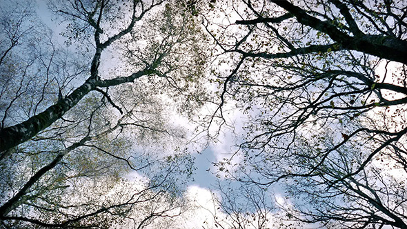 VideoHive Looking Up At Trees And Sky 9675062